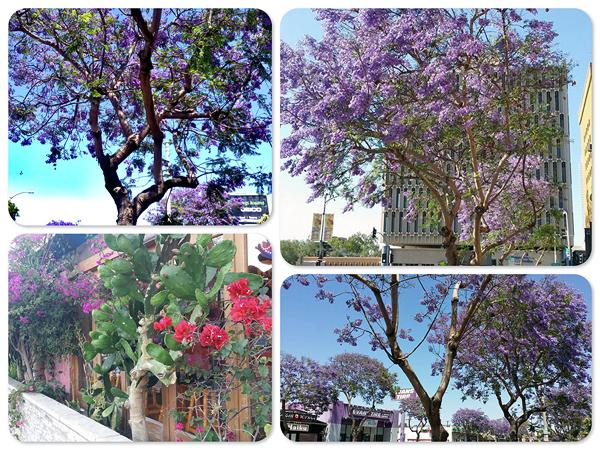 jacaranda-trees.jpg